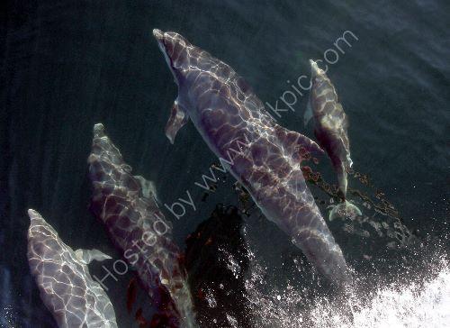 Dolphins bowriding Arisaig