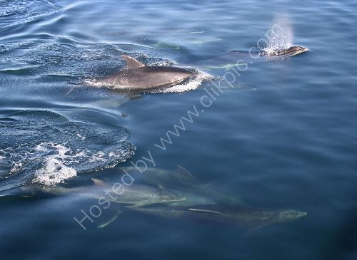 Dolphins dive