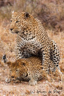 Leopards mating