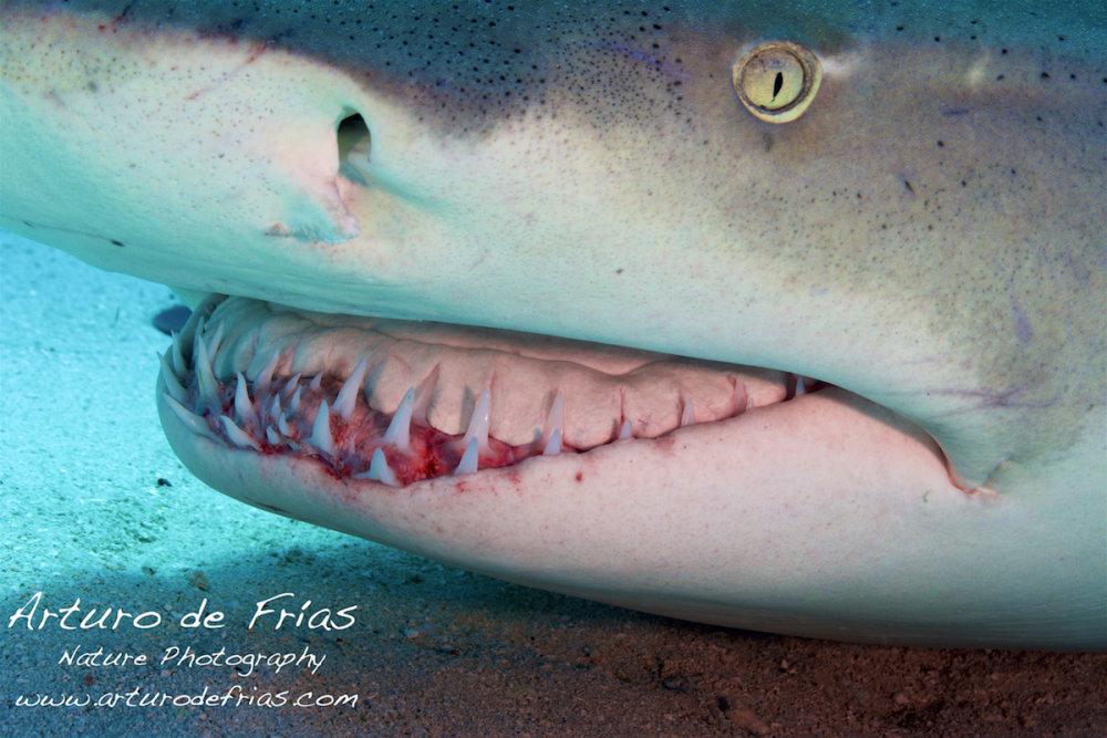 Radical closeup, Lemon Shark