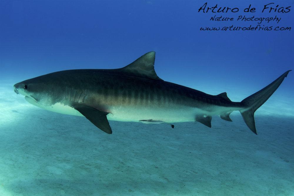 5mts long Tiger Shark!