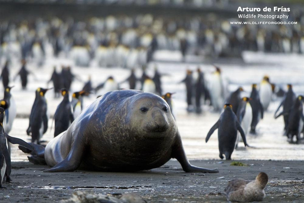 Massive Elephant Seal