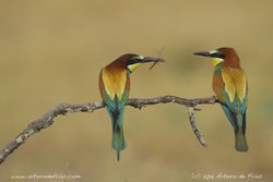 Gift-bearing Bee-eater