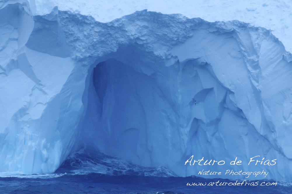 Massive Iceberg and Cape Petrel