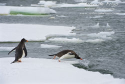 Gentoo Penguin taking the plunge