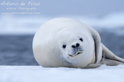 Crabeater Seal closeup