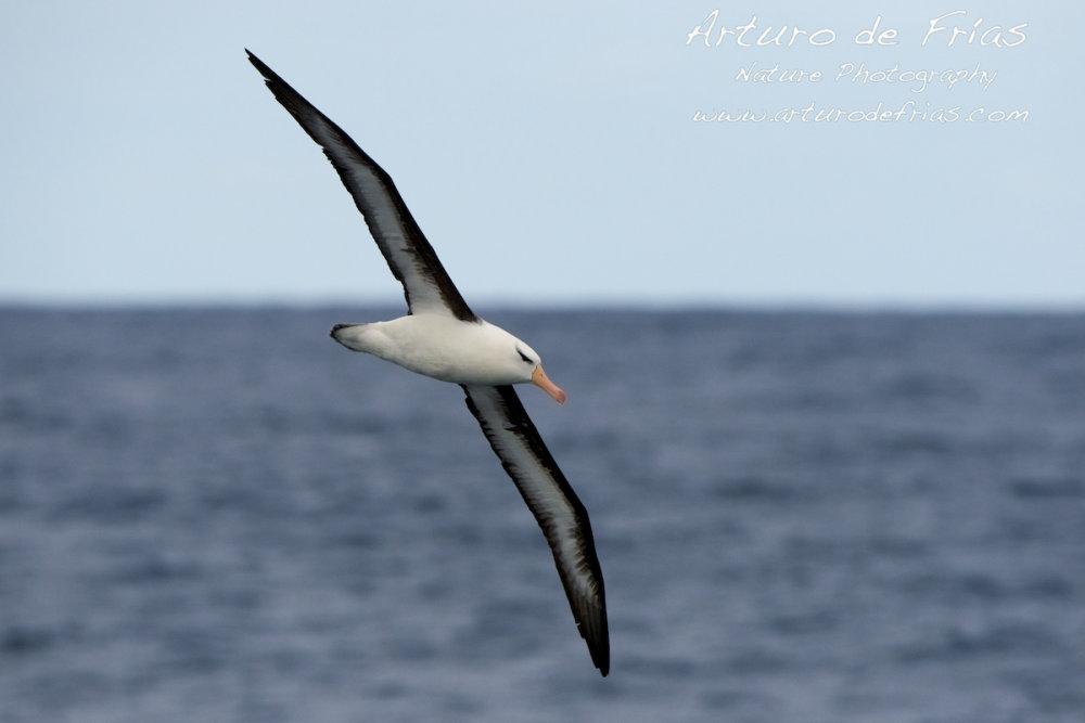 Dark-browed Albatross