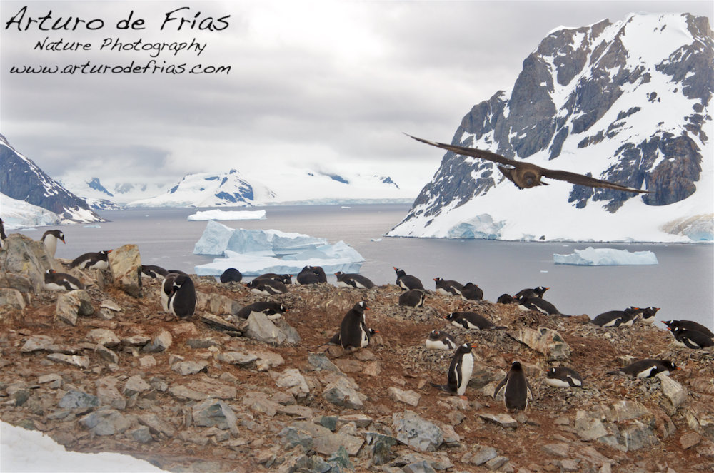 Penguins and Skua