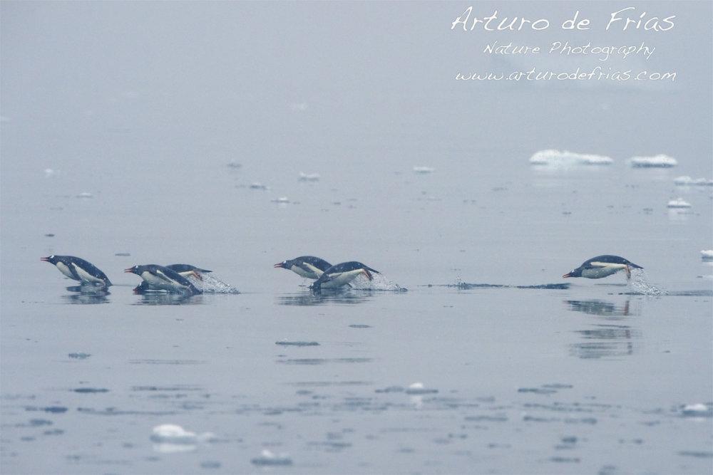 Penguins Porpoising