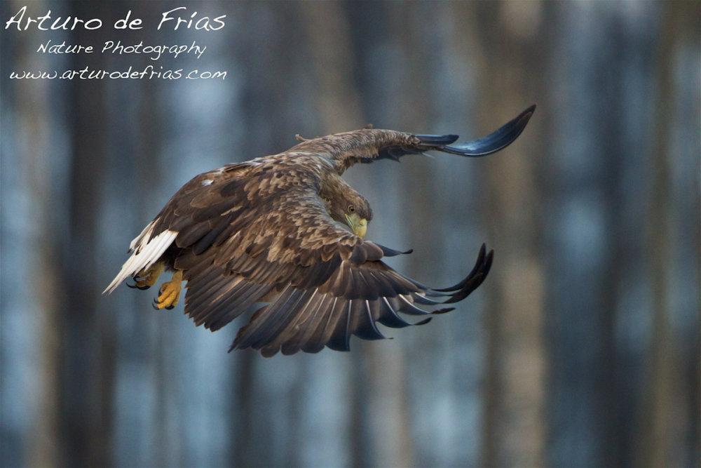 White-Tailed Sea Eagle I