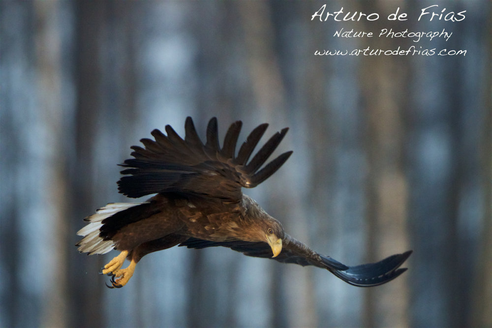 White-Tailed Sea Eagle II