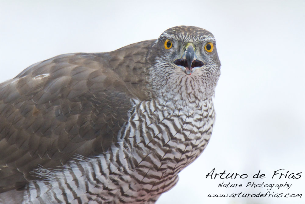 Goshawk closeup in white