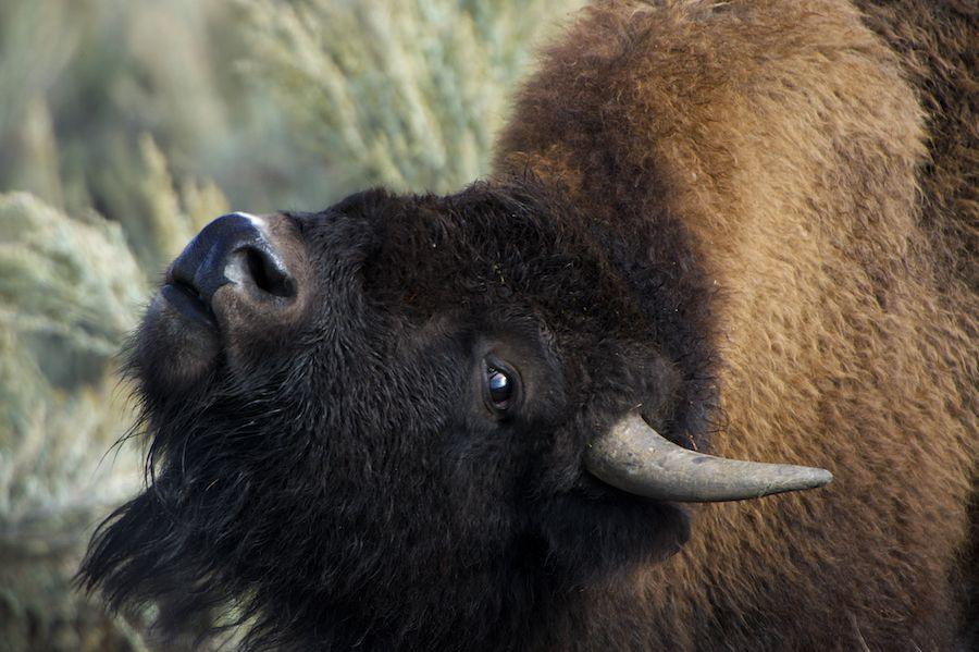 Bison closeup