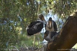 Black Stork Chicks