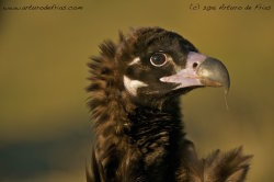 Black Vulture Closeup