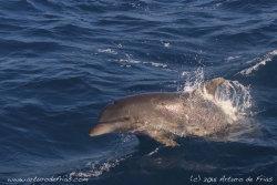 Bottlenose Dolphin porpoising
