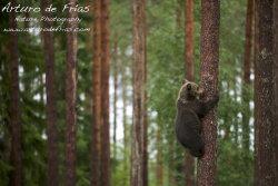 Cub climbing a tree