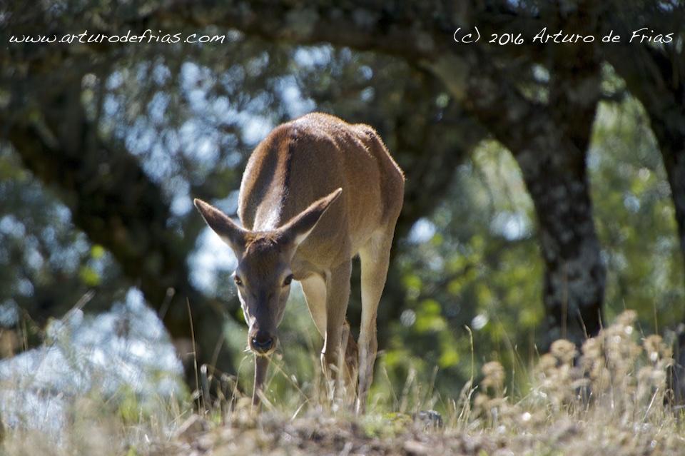 Deer Hind from Below