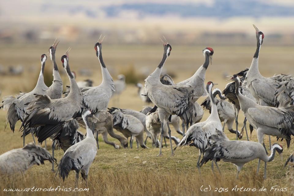 Eurasian Crane Displaying