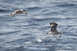 Sea Gulls Fishing