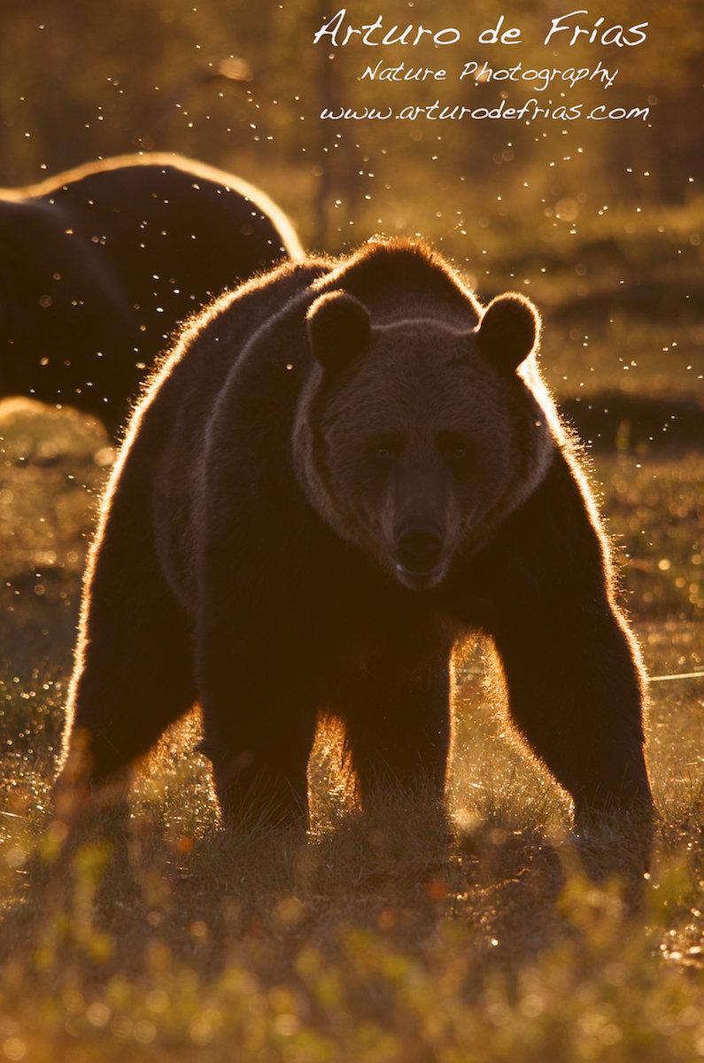 Golden Halo Bear II