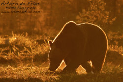 Golden Halo Bear I