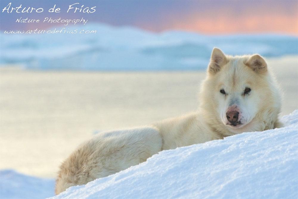 Greenland Sled Dog