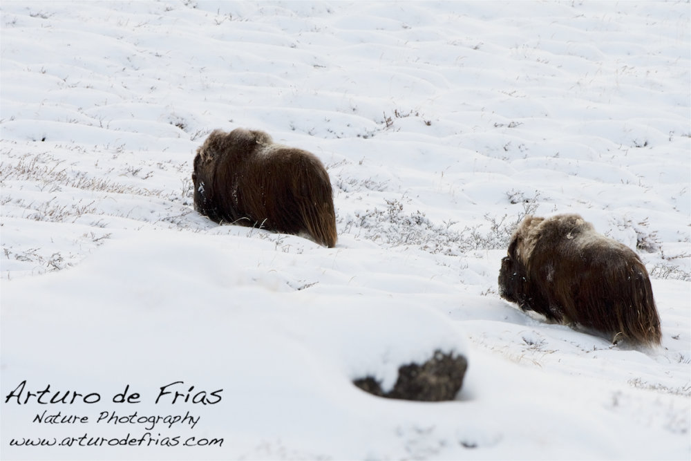Two Musk Ox males