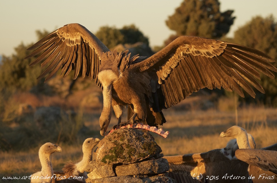 King of Vultures