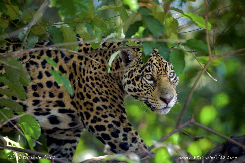 Jaguar stalking yacaré