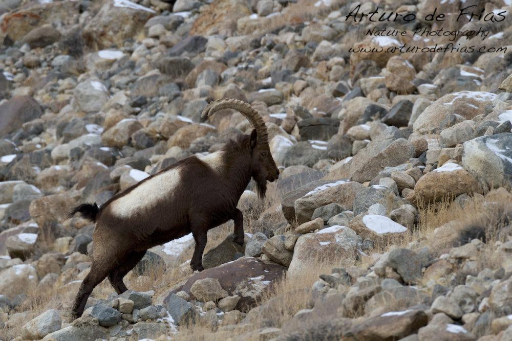 Male Himalayan Ibex