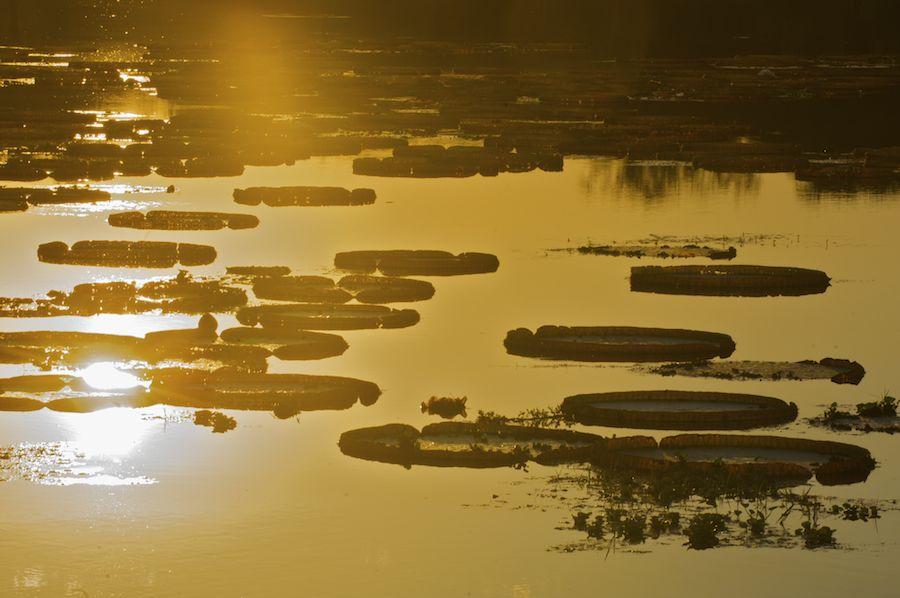 Victoria Regia, Amazon River