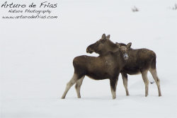 Moose: Cow and calf