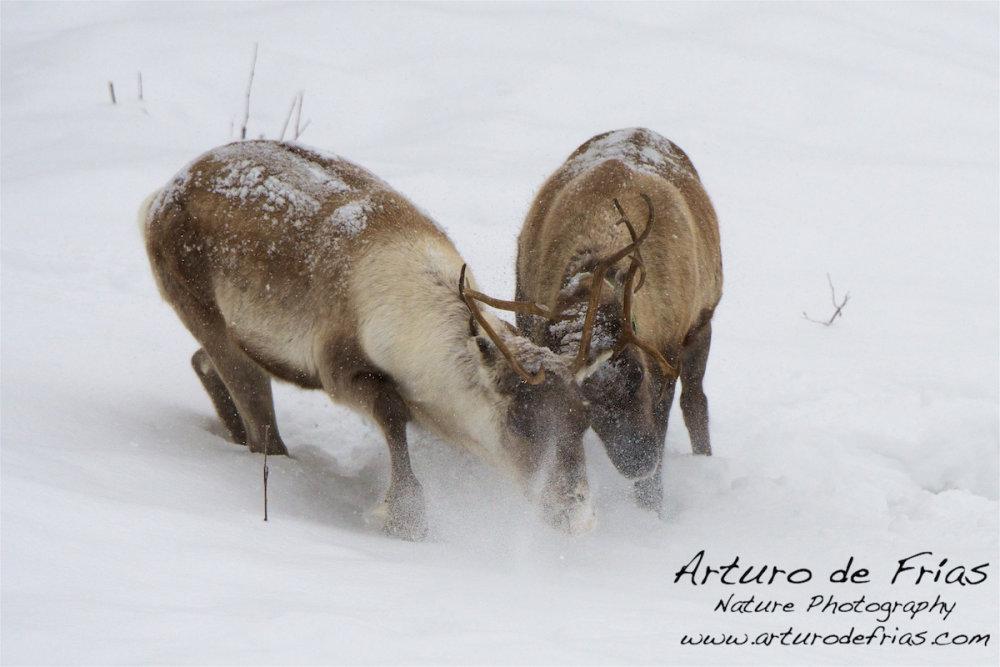 Reindeer bulls sparring