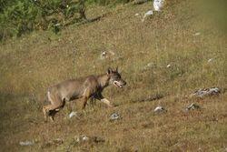 Alpha Female Wolf