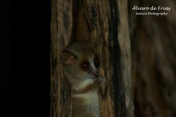 Madame Berthe's Lemur