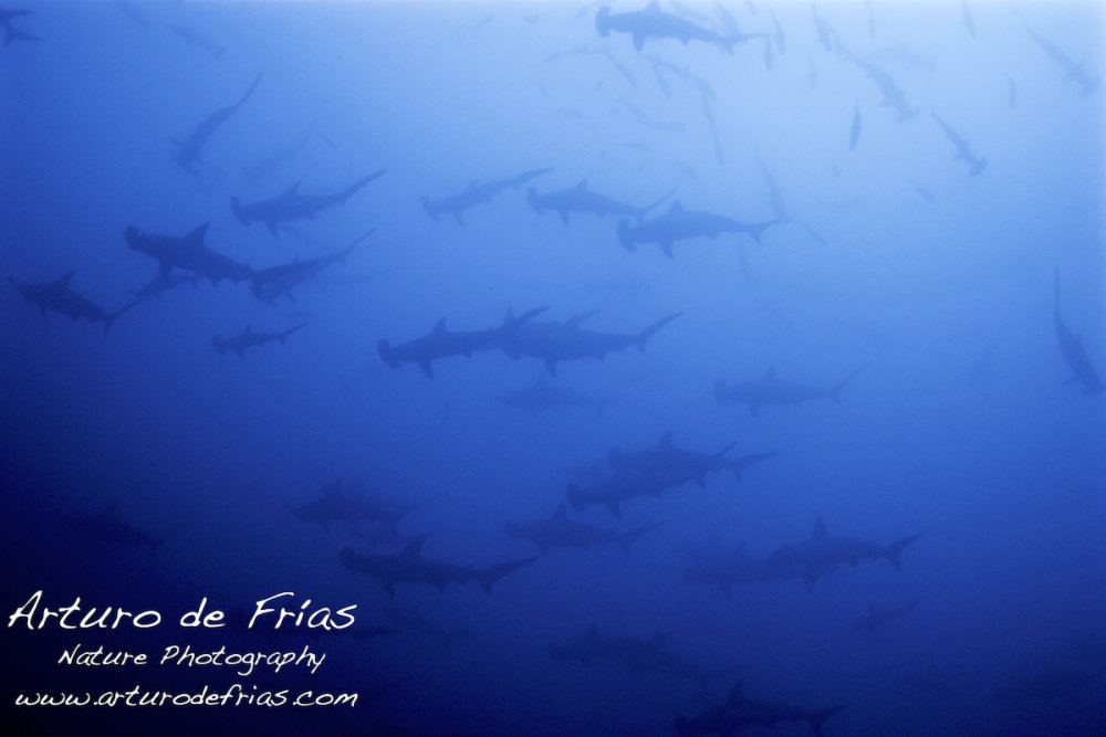 Surrounded by Hammerheads