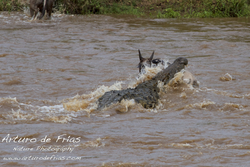 Crocodile Attack 3