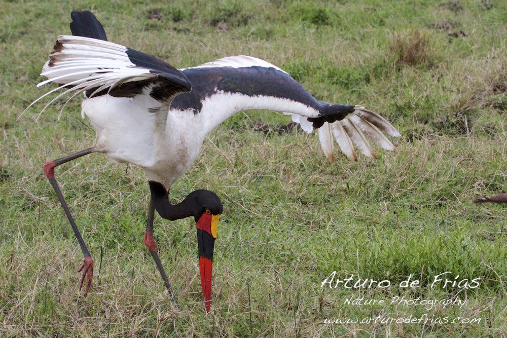 Saddle-billed Stork Hunting