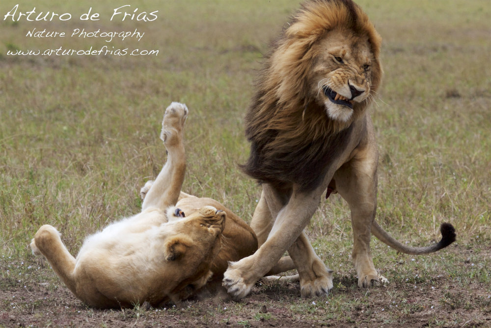 Lions Mating 2
