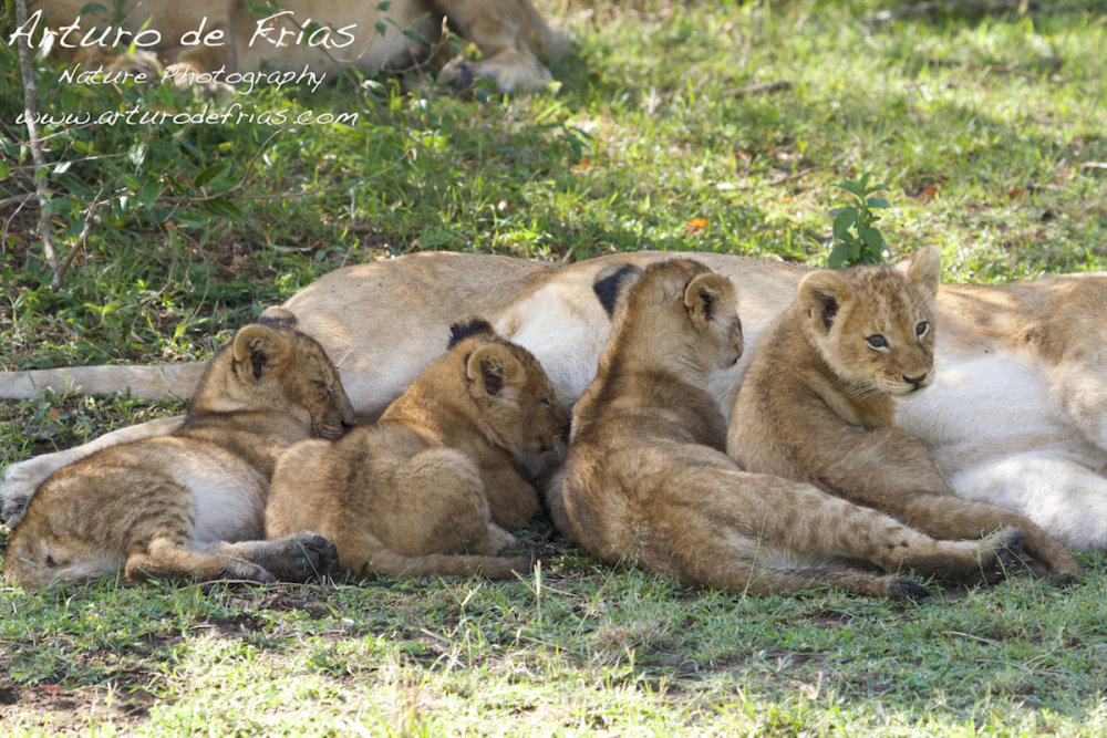 Lion Cubs Suckling