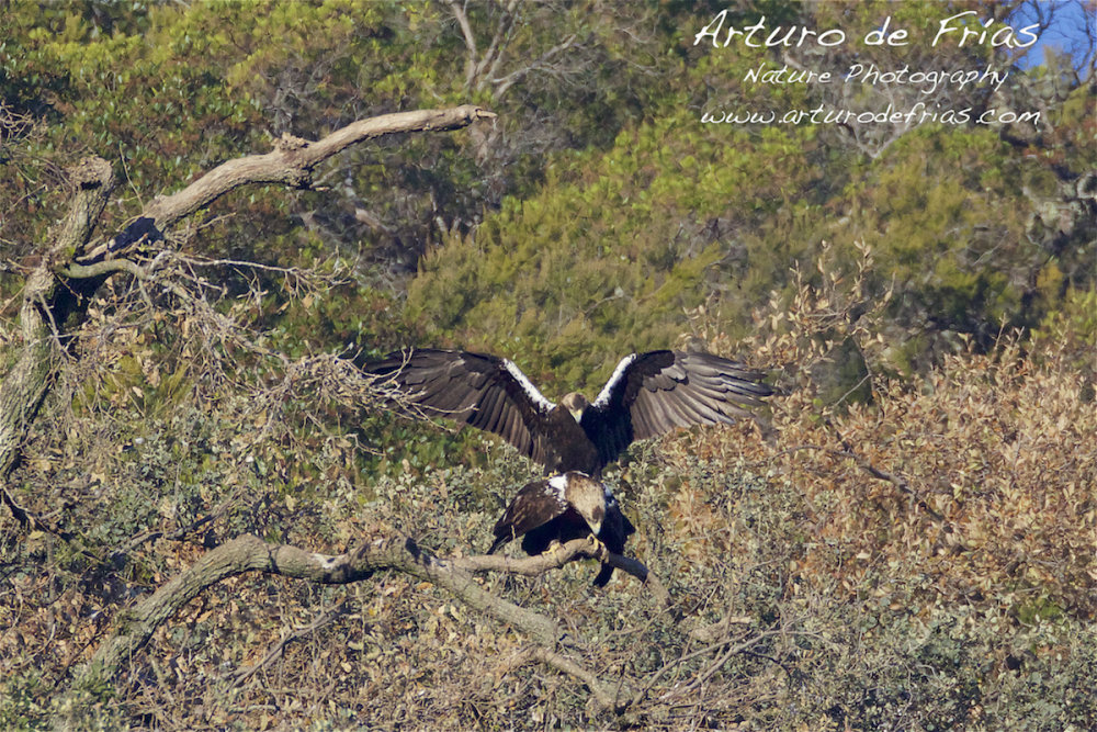 Imperial Eagles mating I