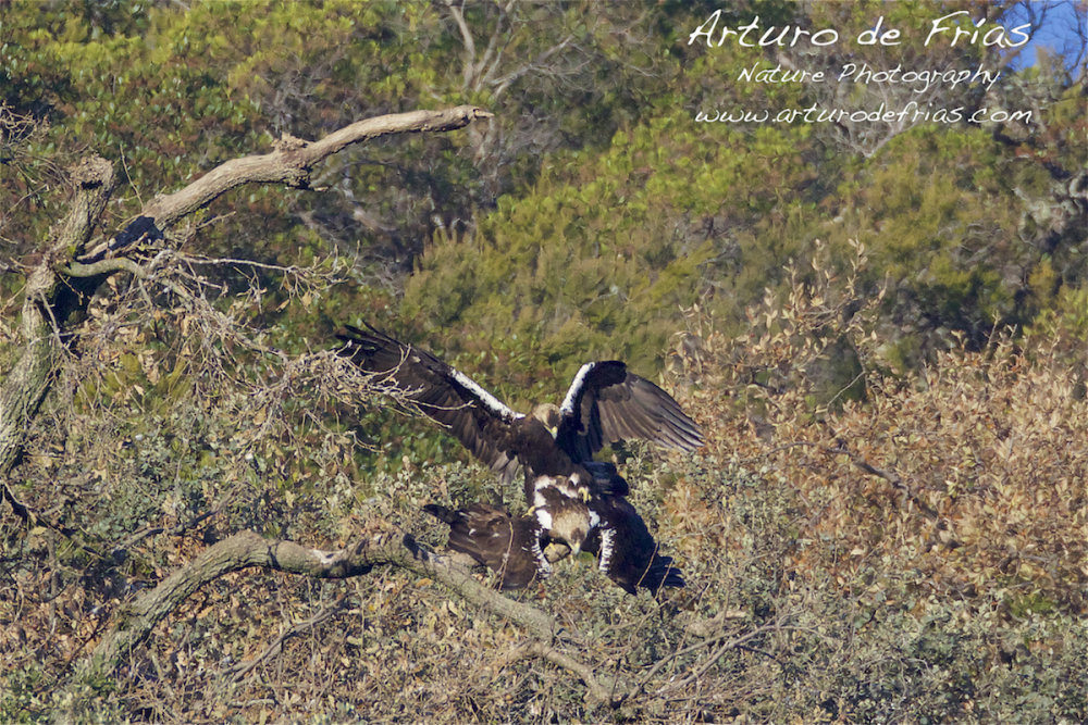 Imperial Eagles mating II