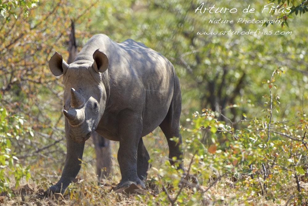 Black Rhino close and personal