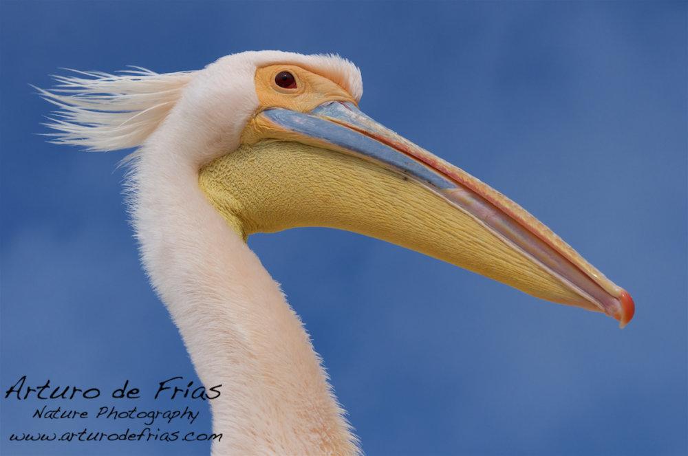 'Bad hair day' Pelican