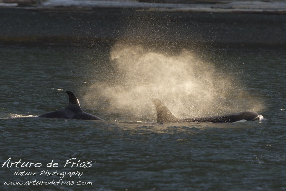 Orca Blows!