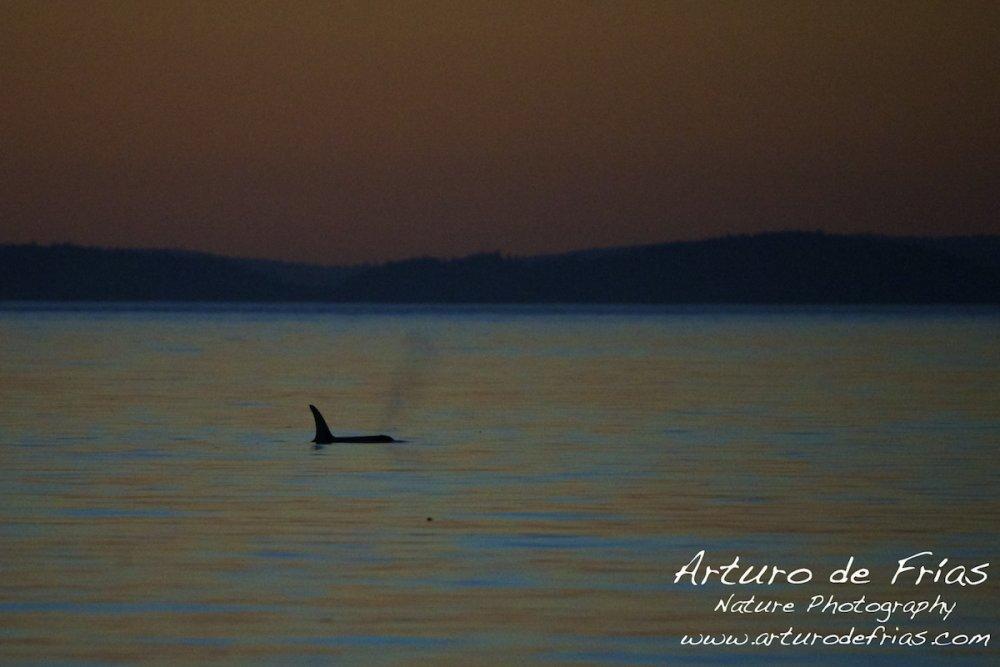 Orca at Dusk