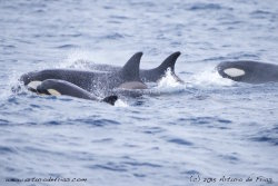 Orca family with baby