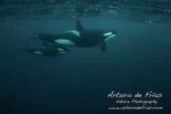 Orca mum with baby