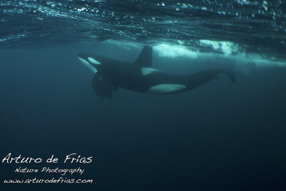 Male Orca breathing